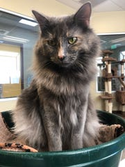 Hi, I'm Holly! I'm a beautiful, young gal who is as affectionate as I am stunning. I'm known for my kisses – seriously, I'll lick your hand to show my love. Give me a pet and I'll purr like a little engine. I get along with other kitties and kids too. If you're looking to add a supermodel to your family, meet me today at the SPCA of Northern Nevada, open daily for pet adoptions or reached at 775-324-7773.