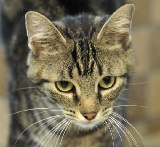 Meet Sabrina. She is a 9-month-old swirly-tabby that is looking for her forever home. She is very sweet, loves everyone, cats, dogs, people, and kids. You can find Sabrina and her friends at the Wichita Falls Animal Service Center located on Hatton Rd.