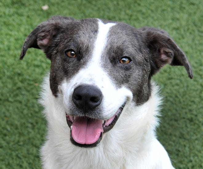 This is Queenie. She is a 2-year-old Sheppard mix that is looking for a place in your heart. She is super friendly and loves everybody. She gets along with cats, kids, people, and other dogs. She would love to meet you at the Wichita Falls Animal Service Center located on Hatton Rd.