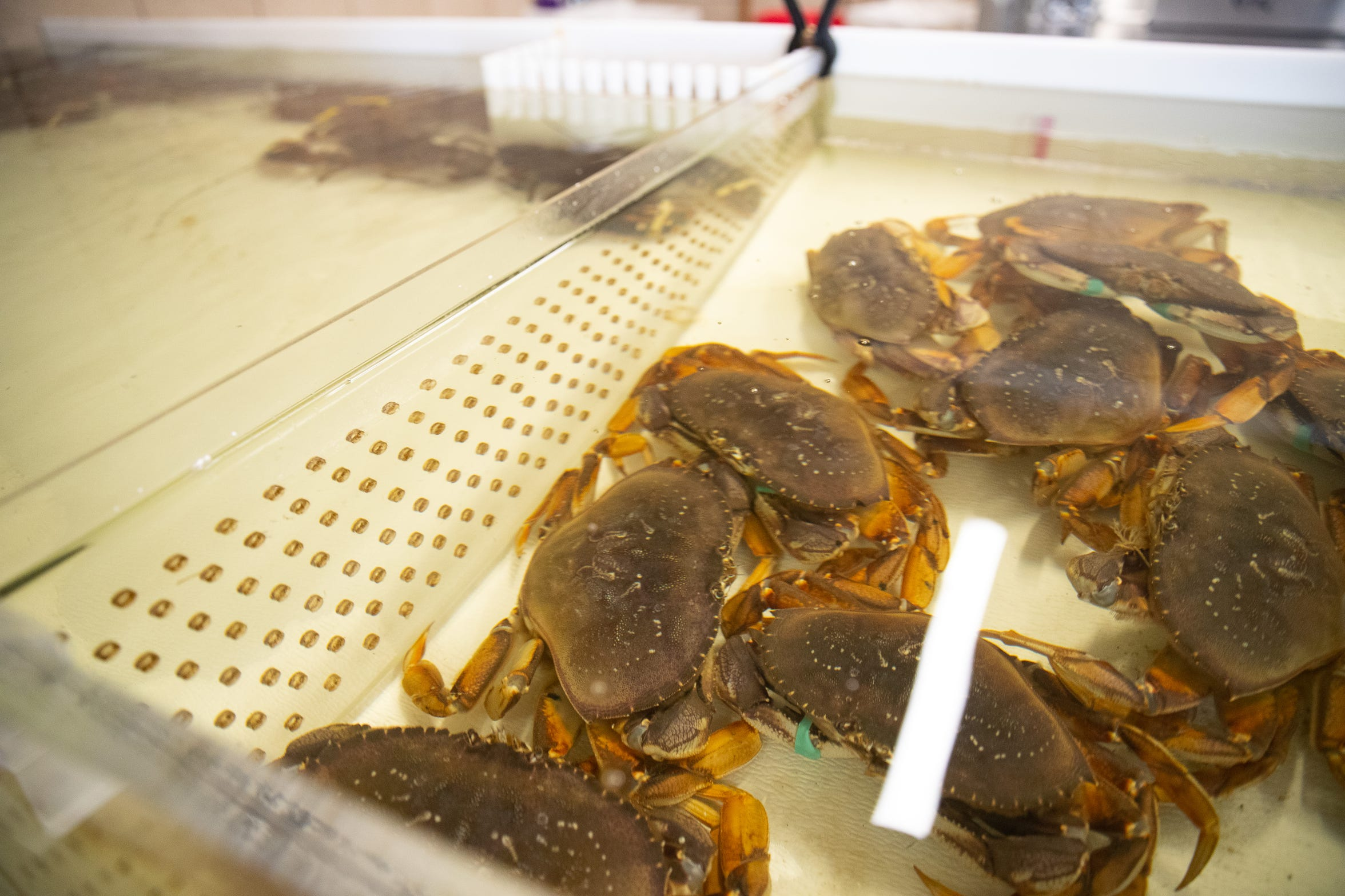 Crabs for sale sit in a tank at the newly opened Fisherman's Bait & Seafood Market in Flower Bluff.