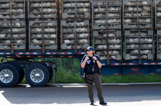 In this Aug. 7, 2019, file photo, a trailer loaded with chickens passes a federal agent outside a Koch Foods Inc., plant in Morton, Miss. Under President Donald Trump, the numbers of owners and managers facing criminal charges for employing unauthorized workers have stayed almost the same.
