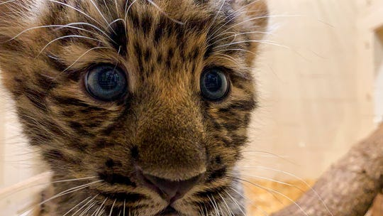 In this Monday, Aug. 12, 2019 photo provided by the Rosamond Gifford Zoo, an Amur leopard cub plays in its private quarters at the Rosamond Gifford Zoo in Syracuse, N.Y. The leopards, which are native to eastern Russia and critically endangered, made their public debut on Wednesday, Aug. 14.