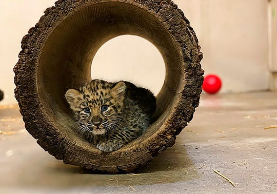 In this Monday, Aug. 12, 2019 photo provided by the Rosamond Gifford Zoo, an Amur leopard cub plays in its private quarters at the Rosamond Gifford Zoo in Syracuse, N.Y.