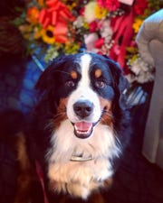 """Fiona, a Bernese mountain dog, passed the test to become the club's 1 millionth """"canine good citizen."""""""
