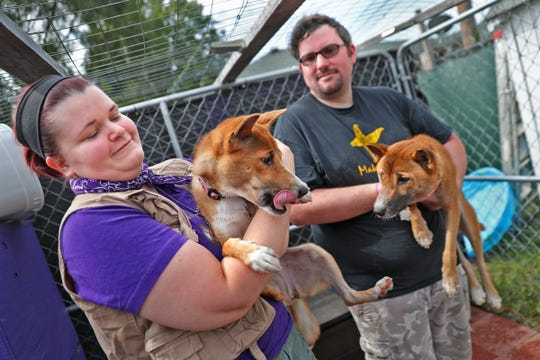 Toa Jean, a New Guinea Singing Dog, is held by Jasmin Wieczorek, and Tyler Wieczorek, right, holds Koga Taine at Wizard of Paws Wildlife Education Inc., Sunday, Aug. 4, 2019.  Singing dogs are the rarest dog species in the world, and Jasmin and her husband Tyler Wieczorek have three of them.