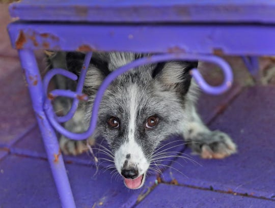 Nebula is a three-month-old platinum white mark fox, seen at Wizard of Paws Wildlife Education in Beech Grove, Sunday, Aug. 4, 2019.  The center rescues wildlife that can't be released into the wild, including captive-bred wildlife like foxes bred for the exotic pet trade.