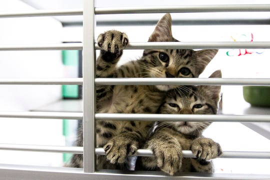 Kittens are pictured, Tuesday, Aug. 13, 2019, at the Animal Care and Adoption Center in Iowa City, Iowa.