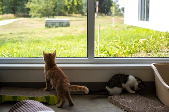 Miles, an orange tabby kitten and RB, play by a window, Tuesday, Aug. 13, 2019, at the Animal Care and Adoption Center in Iowa City, Iowa.