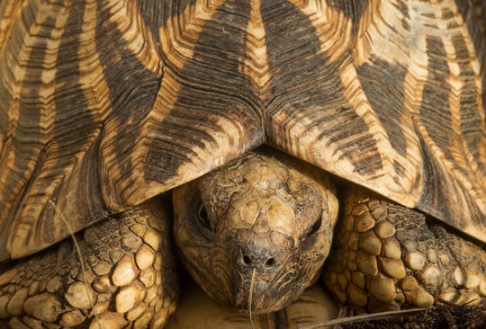 Heather Pekrul-Gulig of the Lakeshore Avian and Reptile Rescue will bring a variety of reptiles to Mead Public Library in September including a tortoise on Sept. 25 and 28.