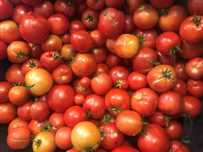 "Tomatoes harvested from ""Big Beef"" and ""Bella Rosa"" plants in 2018."