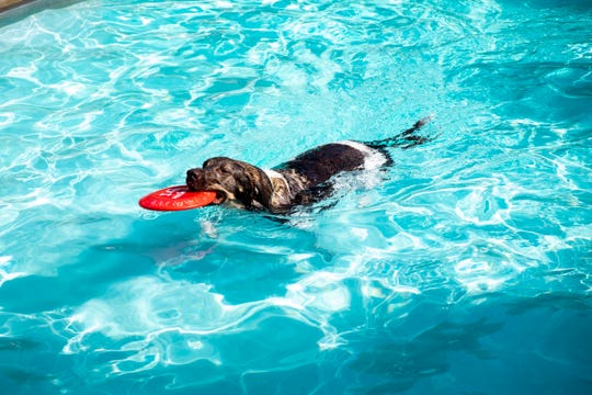 Ringo swims a frisbee back to his owner during Dog Days at the Pool Wednesday, Aug. 14, 2019, at Sanborn Pool.