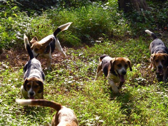 A group of 13-inch male beagles charge through the brush in pursuit of rabbits during a field trial at the York-Adams Beagle Club, near Thomasville.