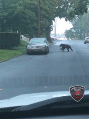 Officer Whitaker of Lancaster Police managed to snap a photo of the bear on Landis Ave.