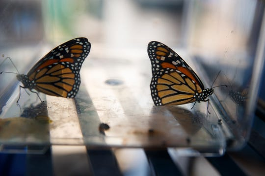 Two newly emerged monarch butterflies sit in a container before being released in Laura Moore's yard in, Greenbelt, Md., May 31, 2019. Despite efforts by Moore and countless other volunteers and organizations across the United States to grow milkweed, nurture caterpillars, and tag and count monarchs on the insects' annual migrations up and down America, the butterfly is in trouble.