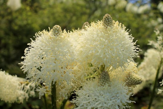 Xerophyllum tenax, better known in the Pacific Northwest as bear grass