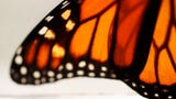 Farmers, monarchs could be affected by Trump administration's changes to the enforcement of the Endangered Species Act.