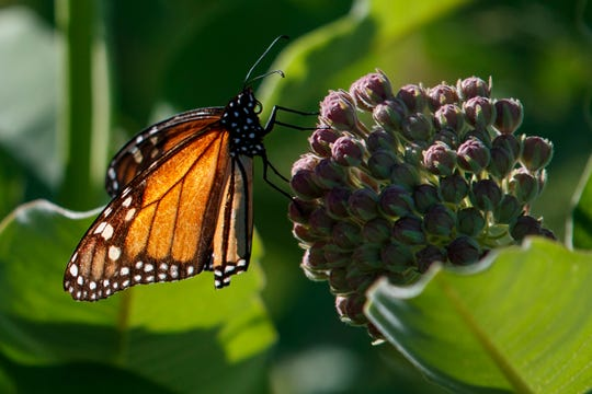 A monarch butterfly perches on milkweed at the Patuxent Wildlife Research Center in Laurel, Md., May 31, 2019. Farming and other human development have eradicated state-size swaths of its native milkweed habitat, cutting the butterfly's numbers by 90% over the last two decades. It is now under considered for listing under the Endangered Species Act.