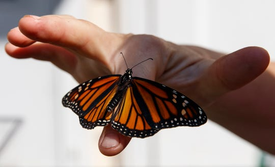 Laura Moore displays a newly emerged monarch butterfly on her finger in her Greenbelt, Md., yard, May 31, 2019. Despite efforts by Moore and countless other volunteers and organizations across the United States to grow milkweed, nurture caterpillars, and tag and count monarchs on the insects' annual migrations up and down America, the butterfly is in trouble.