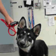 Monterey County Animal Services seeks answers in unclaimed husky's injuries