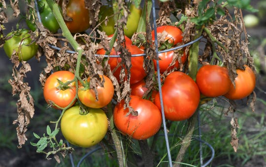 Ripe tomatoes are in abundance at the North Ridge Community Garden Wednesday, Aug. 14, in Sartell.