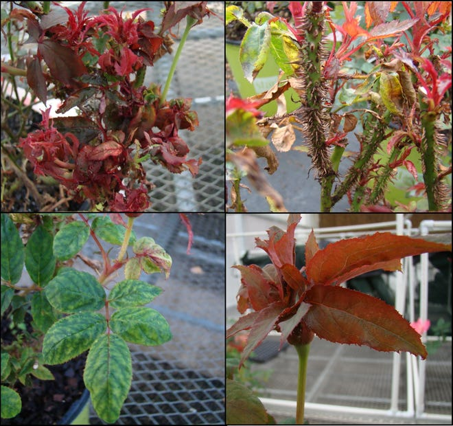 Different symptoms of rose rosette disease: (clockwise from top left) witches' broom; excessive thorn proliferation; leaf mosaic; distorted flower bud.