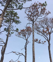 Many pine trees that survived Hurricane Michael are now dying off, often because of insect infestation that took advantage of their weakened, damaged state.