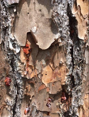 Holes are visible on the exterior of slash pine bark, showing where adult beetles exited the tree.