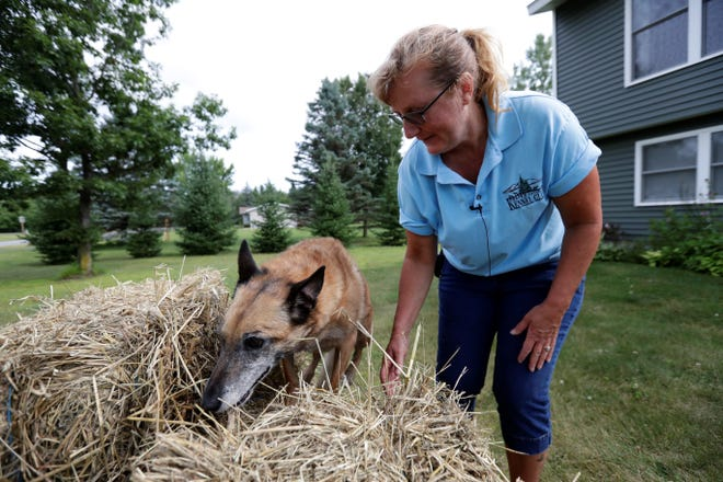 Brenda Blume demonstrates how Fish, her Belgian Malinois, dog barn hunts Monday, August 12, 2019, in Kronenwetter, Wis.