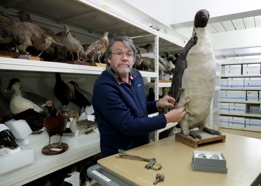 Dr. Paul Scofield, senior curator natural history at Canterbury Museum, holds the fossil, a tibiotarsus, top, next to a similar bone of an Emperor Penguin in Christchurch, New Zealand, Wednesday, Aug. 14, 2019.