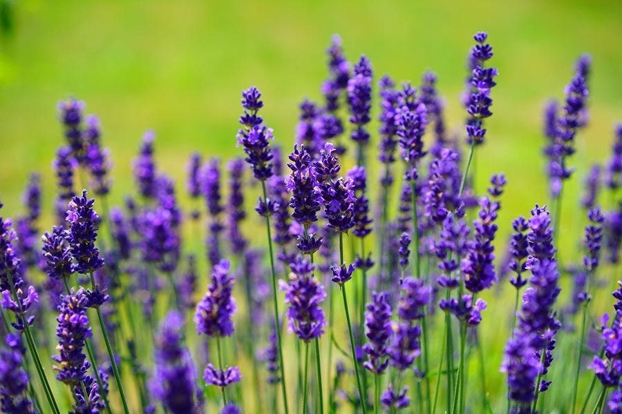 Wait To Prune Lavender Or It Might Kill Plant