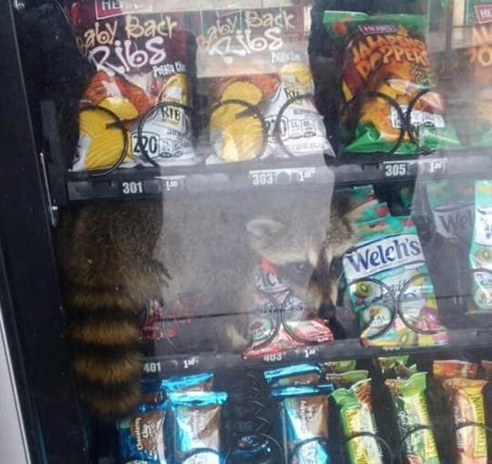 "A raccoon was ""apprehended"" at a Volusia County high school after it got stuck inside a vending machine."