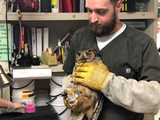Mike O'Malley holds a great horned owl is being treated for injuries at Woodford Cedar Run Wildlife Refuge. Cut-up pool noodles are used to treat owls and other birds with foot injuries.