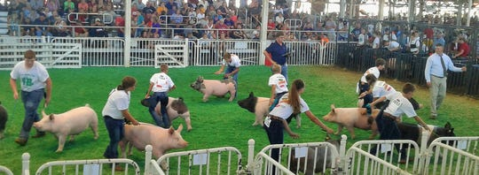 What looks like bedlam is actually show ring barrow judging at the Iowa State Fair on Tuesday. Young exhibitors keep their eyes on the judge at all times as they prod their pigs to keep moving, in front of a packed house of spectators.