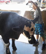 """Chloe Rogers, 11, of Iowa City washes """"All-Star"""" her entry in the beef show at the Iowa State Fair. She and her 1,400-pound steer won reserve champion showmanship honors in her division."""