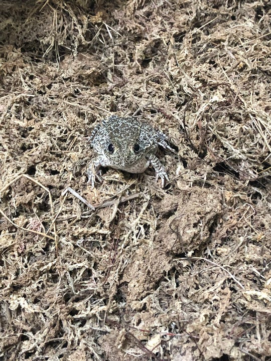 An endangered dusky gopher frog sits on a bed of moss at the Memphis Zoo.