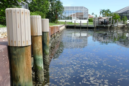 Non-toxic algae floats on the Marco Island canal between N. Barfield Dr. and Juniper Ct. on Aug. 7, 2019.