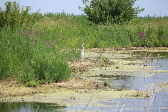 A egret sits along the soaked grounds at the site of Port Clinton's wetlands restoration project, just east of Waterworks Park.
