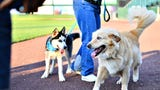 York Revolution's team dogs Boomer and Blue at PeopleBank Park in York City.