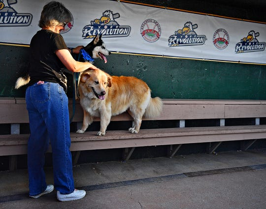 York Revolution's new team dog, Blue, a five-month-old Siberian Husky, gets a feel for the dugout with trainer Deb Sangrey, of Manchester Township, as he makes his media debut with current/veteran team dog, Boomer, 9, at PeoplesBank Park in York City, Wednesday, Aug. 14, 2019. Dawn J. Sagert photo