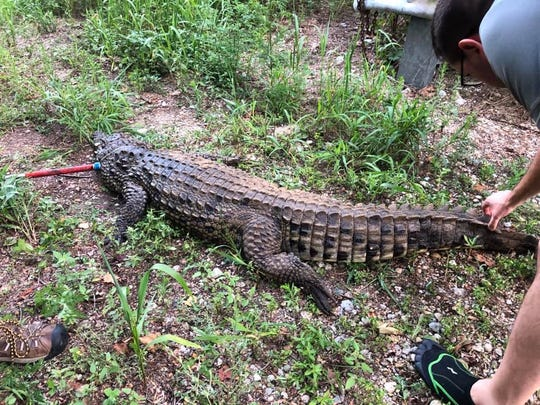 A 7-foot crocodile was removed Wednesday from Bantas Creek near West Alexandria, Ohio.
