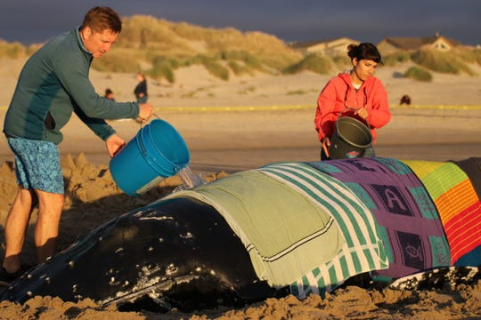 Teams work to rescue a juvenile humpback whale stranded near Waldport.