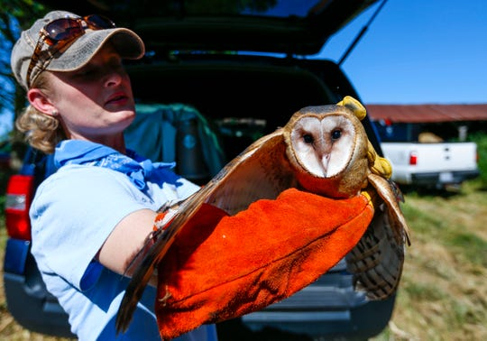 Rhonda Rimer, a natural history biologist with the Missouri Department of Conservation, holds a barn owl before it is released into an owl box in the hayloft of a barn on Thursday, Aug. 15, 2019.