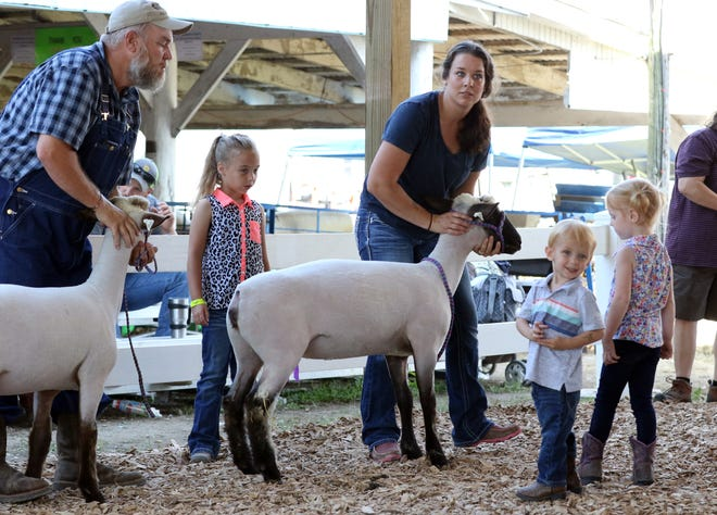 Showing in the open class sheep show at the Muskingum County Fair on Thursday. To view more photos, visit www.zanesvilletimesrecorder.com.