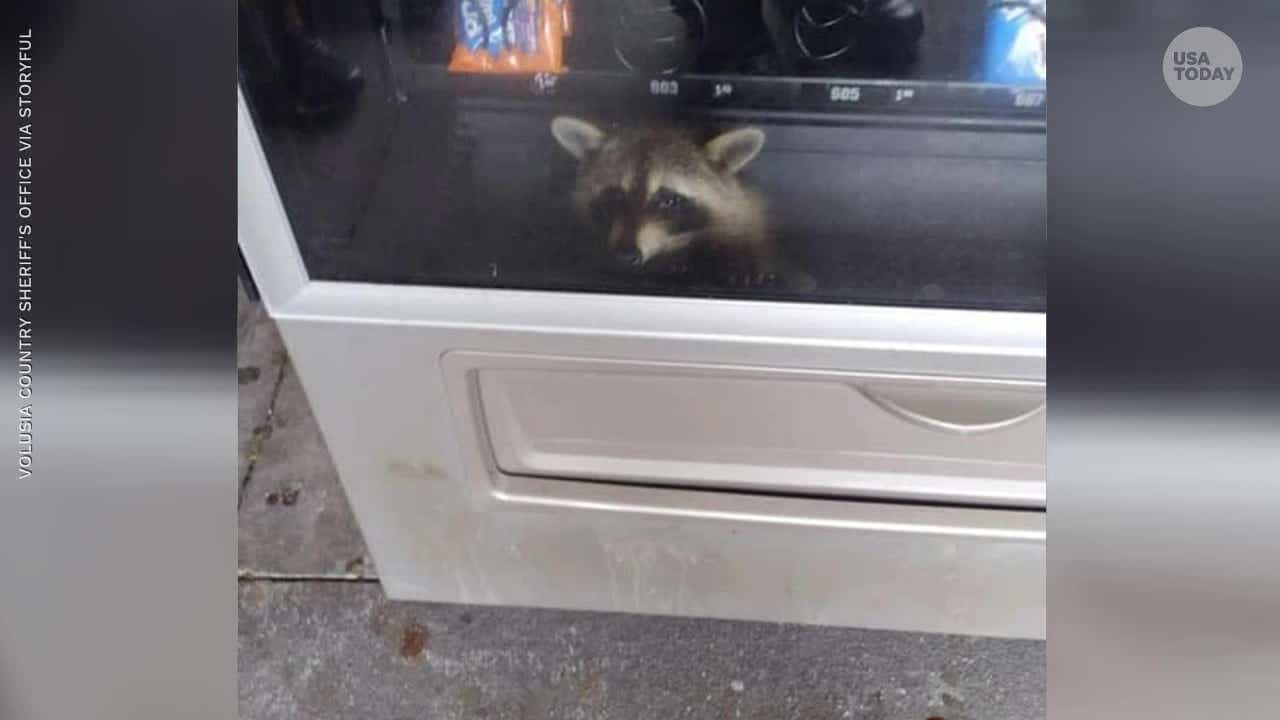Police rescue cunning raccoon from vending machine