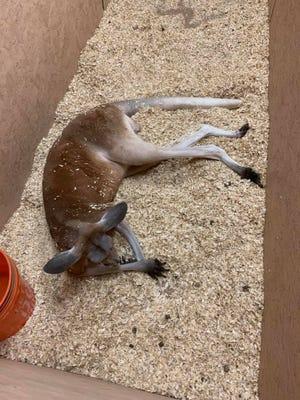 Kangaroo found in Romulus August 2019.