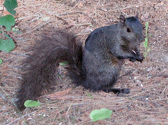 The eastern gray squirrel is another common Michigan squirrel. It is about the same size as the fox squirrel, but with fur colored from light gray to jet black.