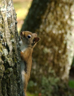 Red squirrels are significantly smaller than eastern gray squirrels or eastern fox squirrels, with reddish fur and tufts of hair on the tips of their ears.