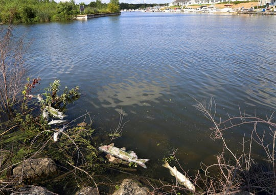 In this Thursday, Aug. 15, 2019, photo several dead fish float along the bank of Burns Ditch near the Portage Marina in Portage, Ind.