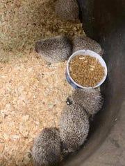Romulus police also seized some hedgehogs at the property.