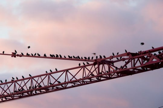 Starlings flock to a crane. Farmers in Augusta County used air cannons for a variety of purposes, including to deter starlings from infecting piglets with diseases. Air cannons are now banned in the county.